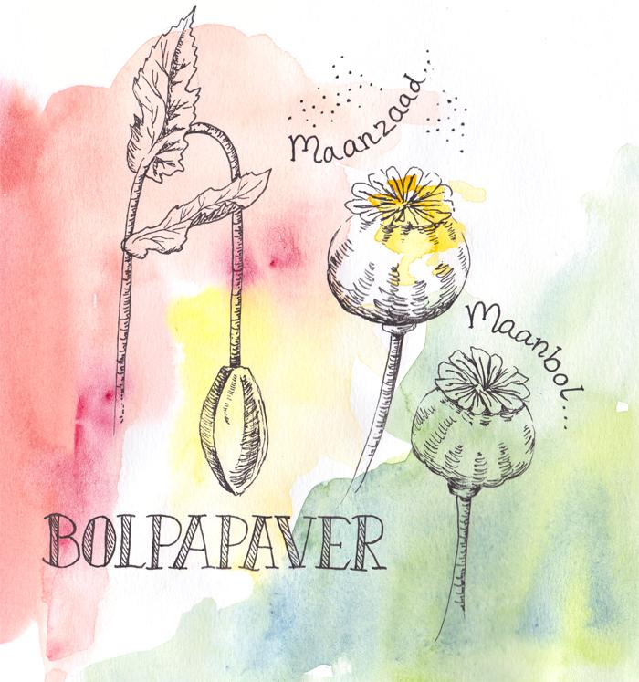 Bolpapaver tekening met aquarel